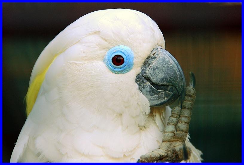 Blue eyed triton cockatoo - photo#21