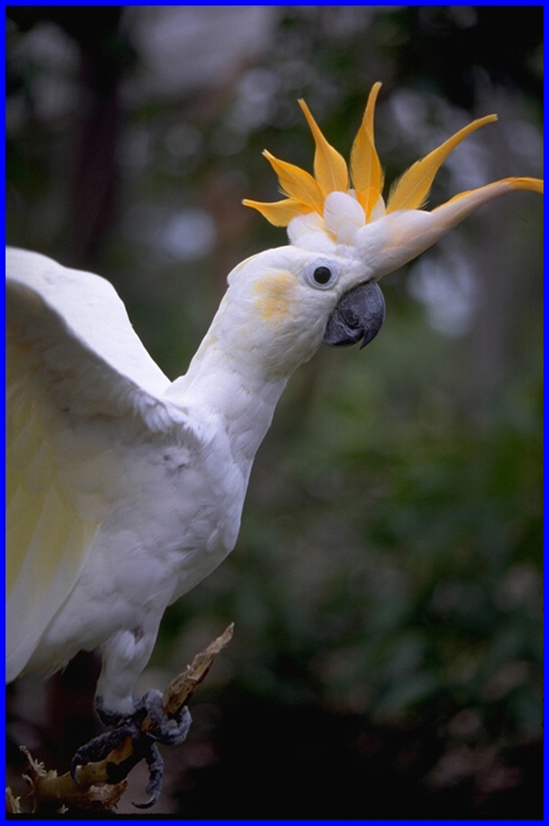 Citron Cockatoo 95